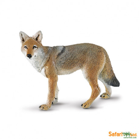 Coyote - Safari
